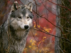 Wolf howling tra i lupi dell'Appennino