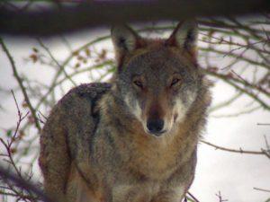 capodanno da lupi