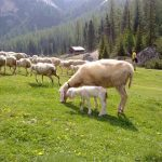 pecore vallunga