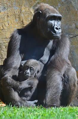 La gorila Ali e il suo bebé, Ebo, di 7 mesi al Bioparco Valencia